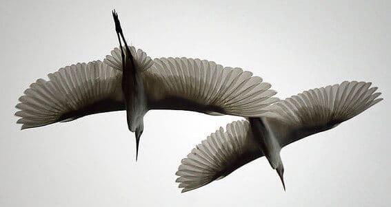kokokan-bali-heron-legends-herons-kokokan-birds-petulu-gunung-bali