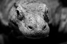 History, Myth and Folklore of the Komodo Dragon